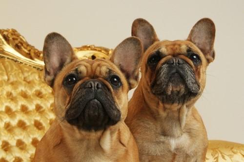 kaufen französische bulldogge welpen